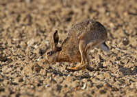Brown Hare on ploughed field.