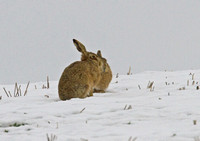 Brown Hares January/February