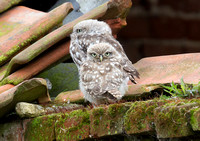 Young Little Owls in the rain