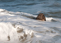 Grey Seals in the surf