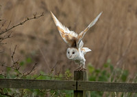 Barn Owl Portraits
