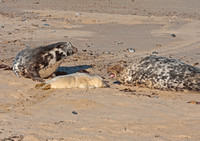 Grey Seal aggression at pupping time