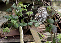 Little Owl on old farm machinery.