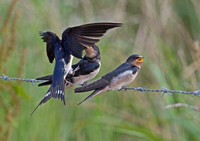 Swallow feeding young.