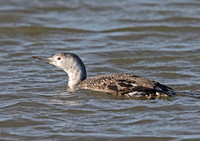 Red Throated Diver  (Winter)
