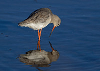 Spotted Redshank reflections.