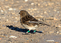 Twite Thornham harbour.