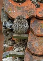 Little Owl pair in old farm buildings