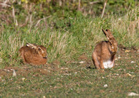 Brown Hares the chase