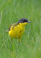 Yellow Wagtail / Grey Headed Wagtail
