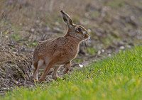 Brown Hare as large as life.