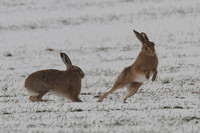 Hares in snow